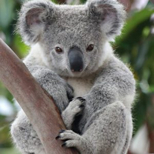 cropped-koala.jpeg